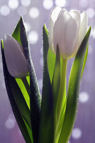 White_Tulip (1).jpg