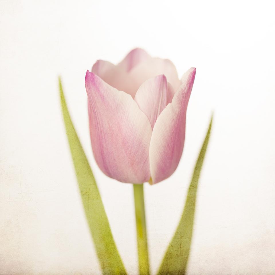 Pink Happy Tulip