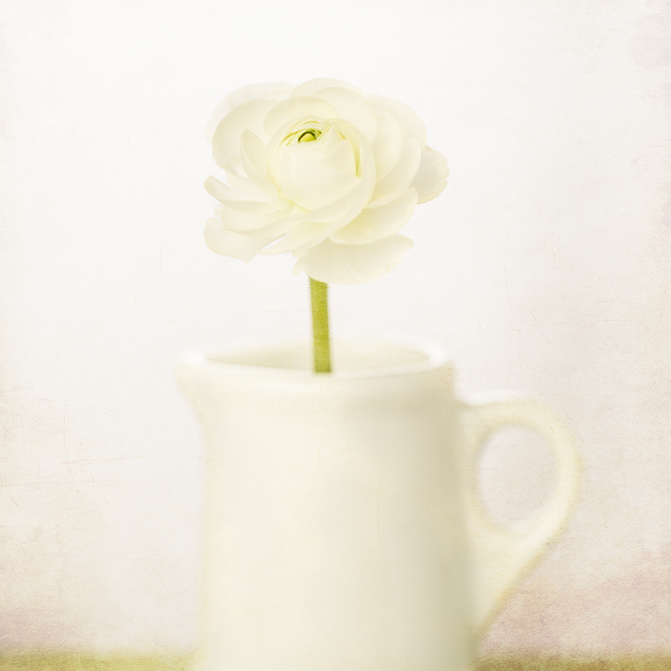 Ranunculus in creamer
