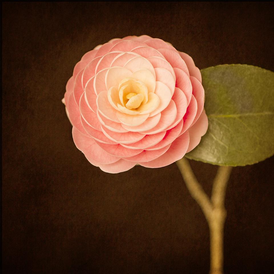 Camellia and leaf