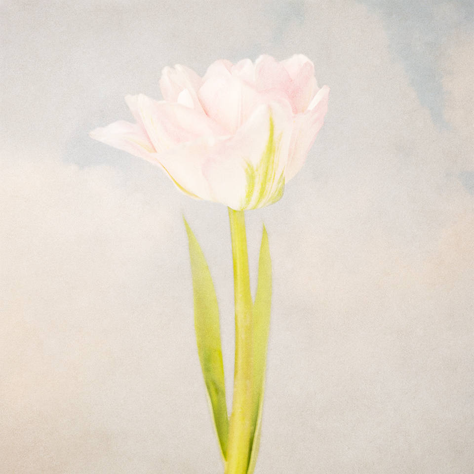 Tulip and clouds