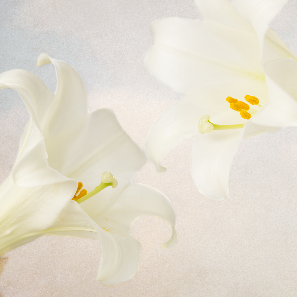 Two Lilies in sky