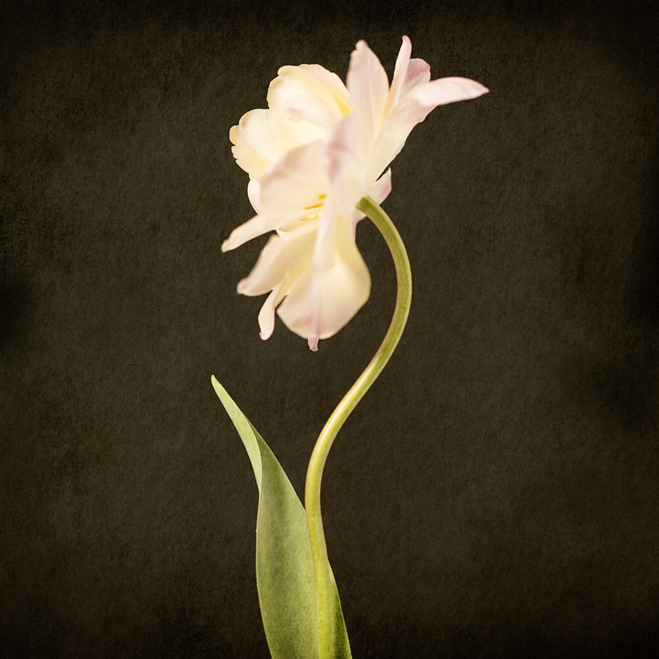 Tilted Tulip