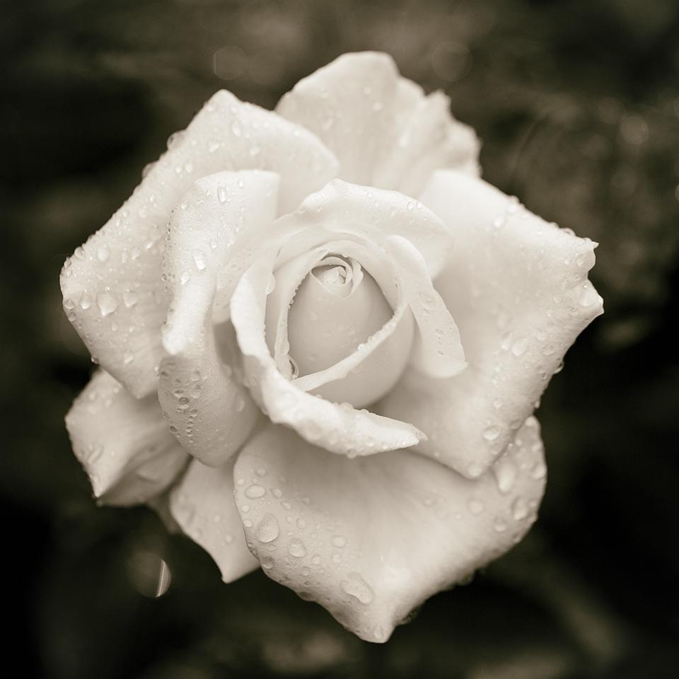 Rose dew drops BW