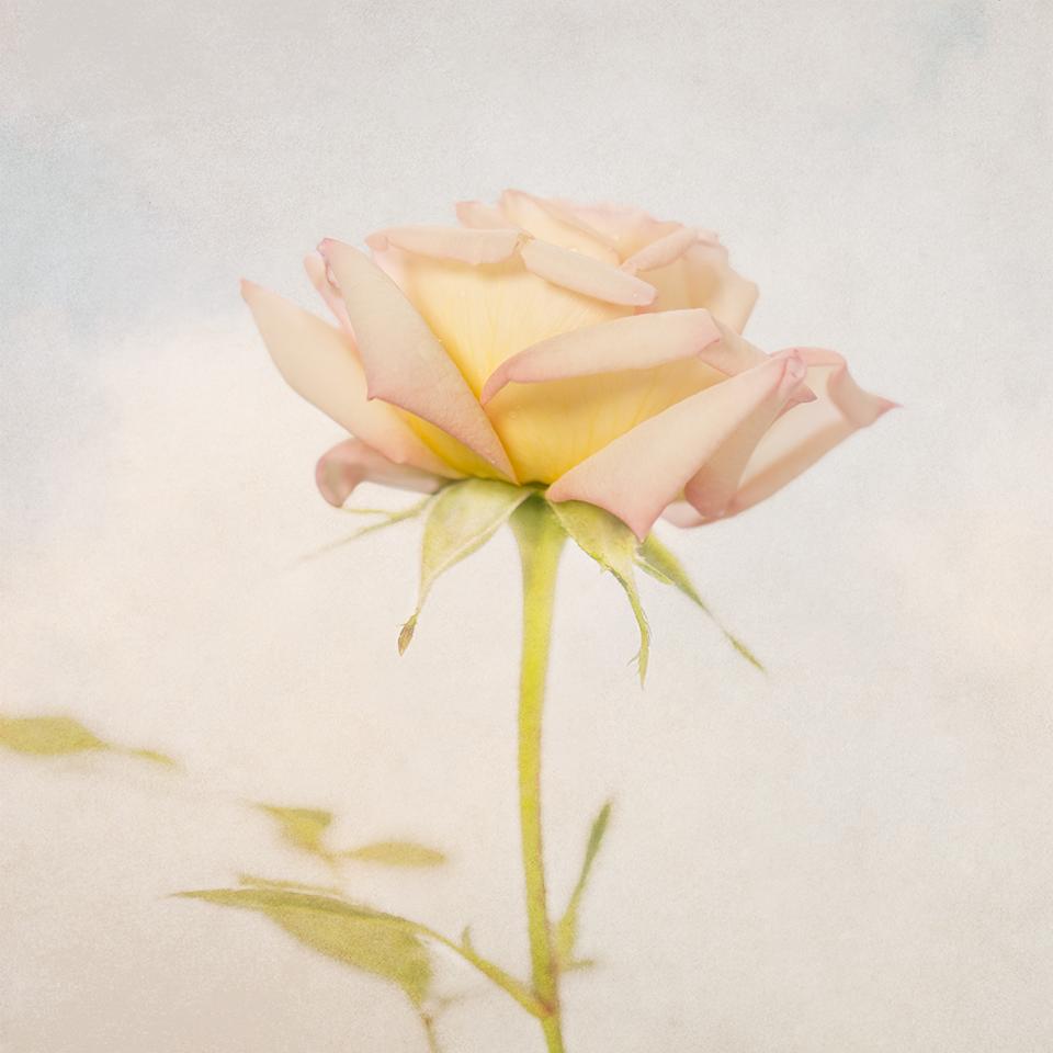 Mini rose in sky