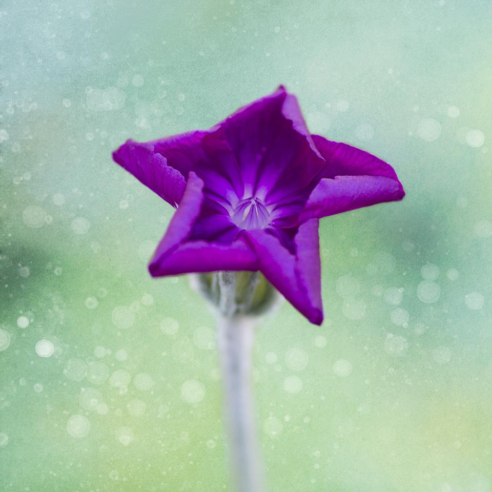 Rose Campion star