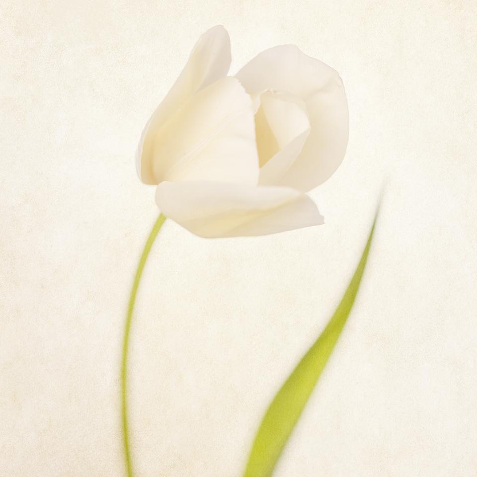 Sway Tulip