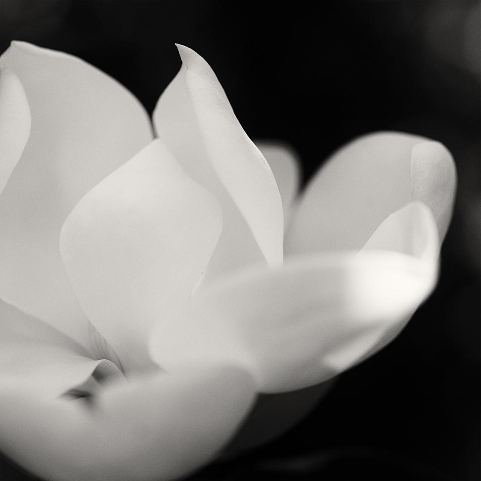 Magnolia bloom detail BW
