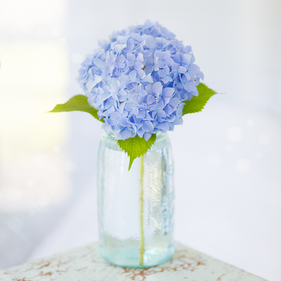 Blue Hydrangea in mason jar