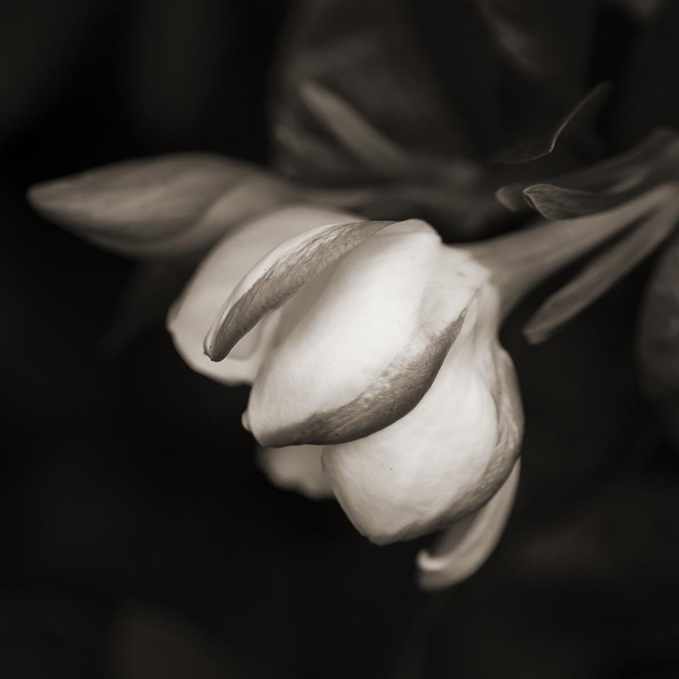 Gardenia blossom BW