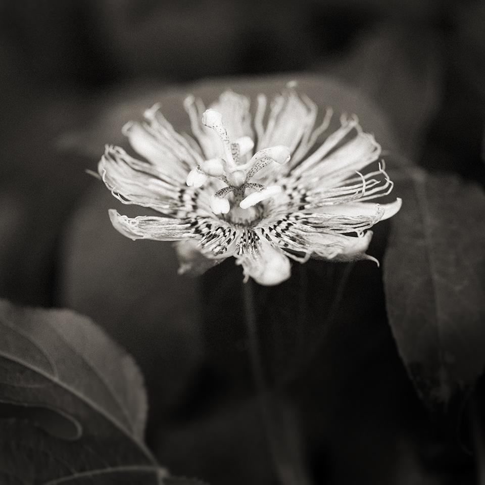 Passion flower BW