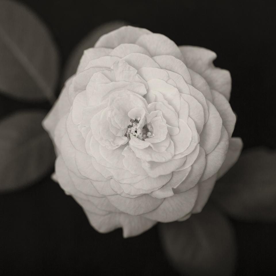 Rose bloom BW