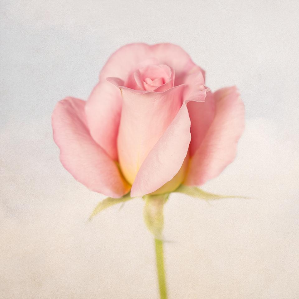 Rose in sky