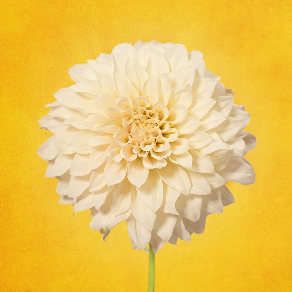 Dahlia on yellow
