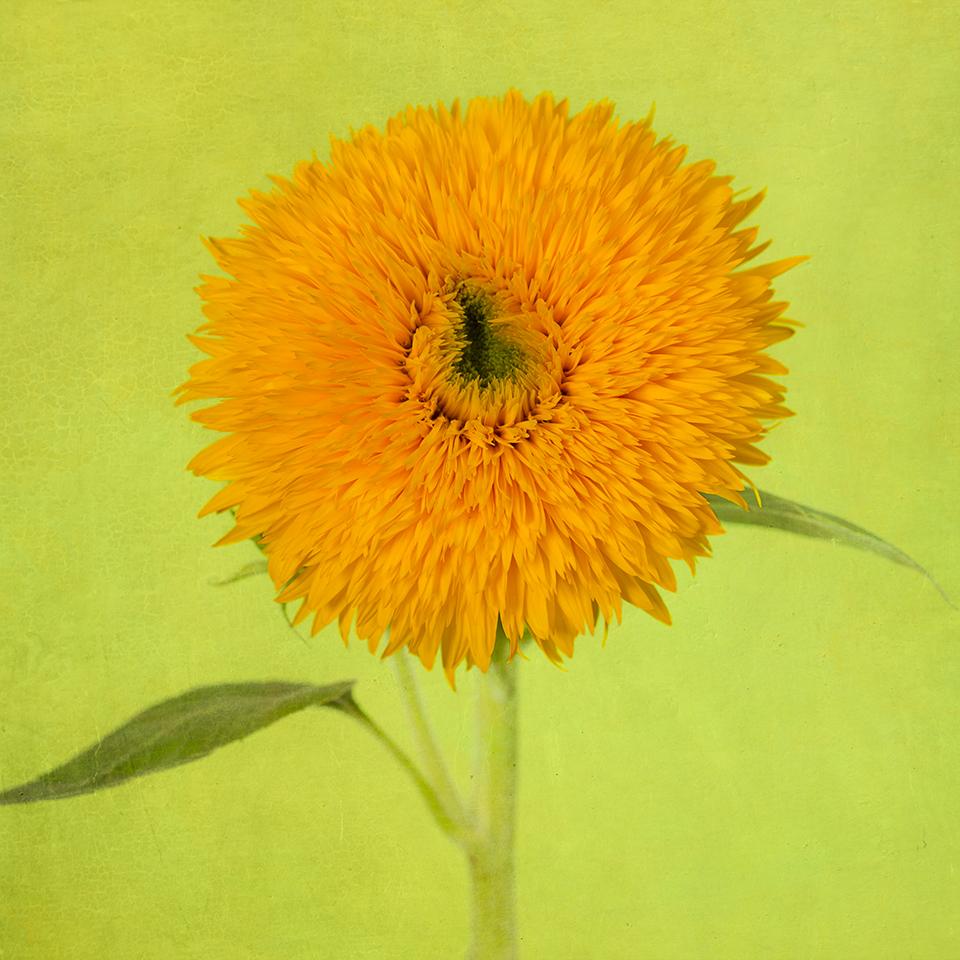 Sunflower on green