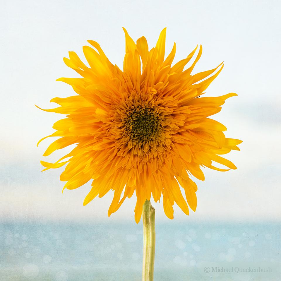 Sunflower ocean
