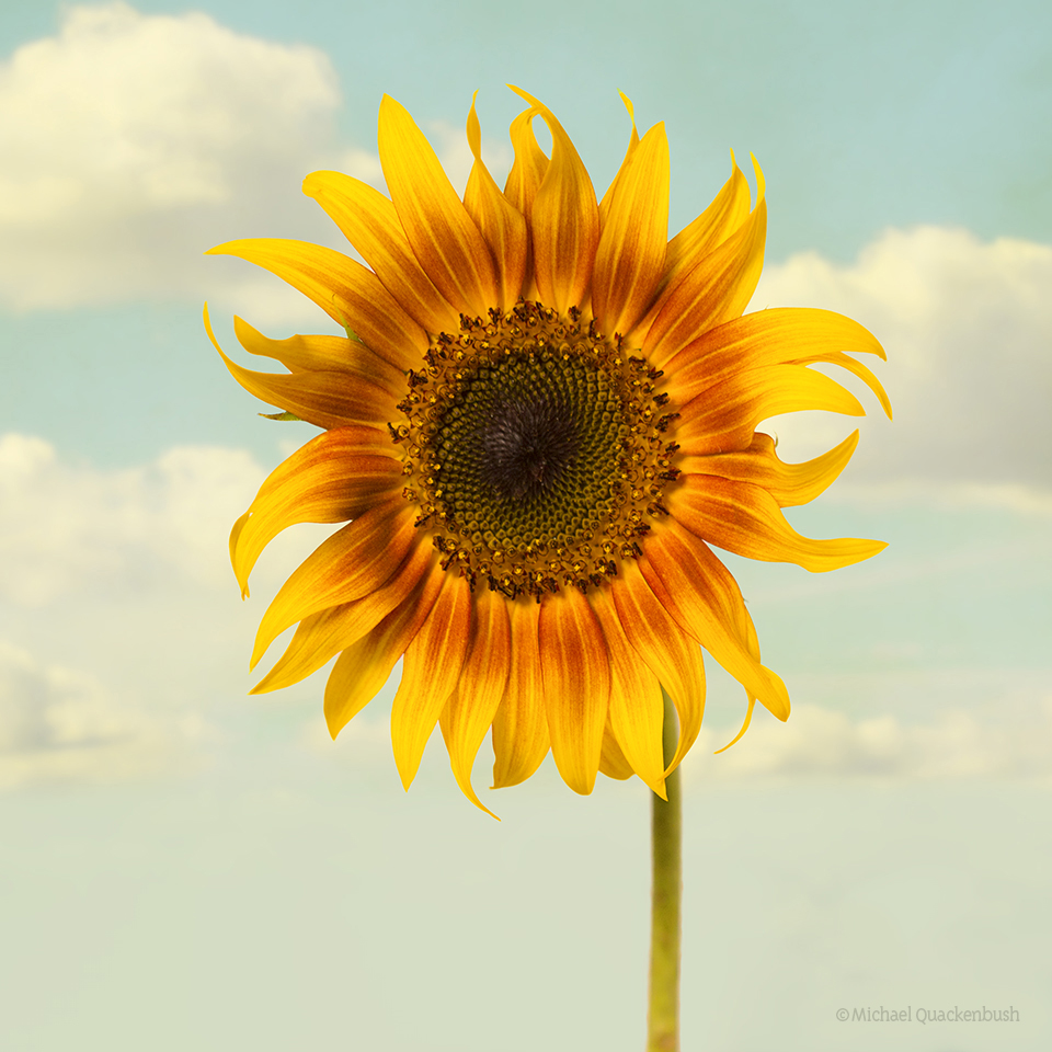Summer sunflower in clouds