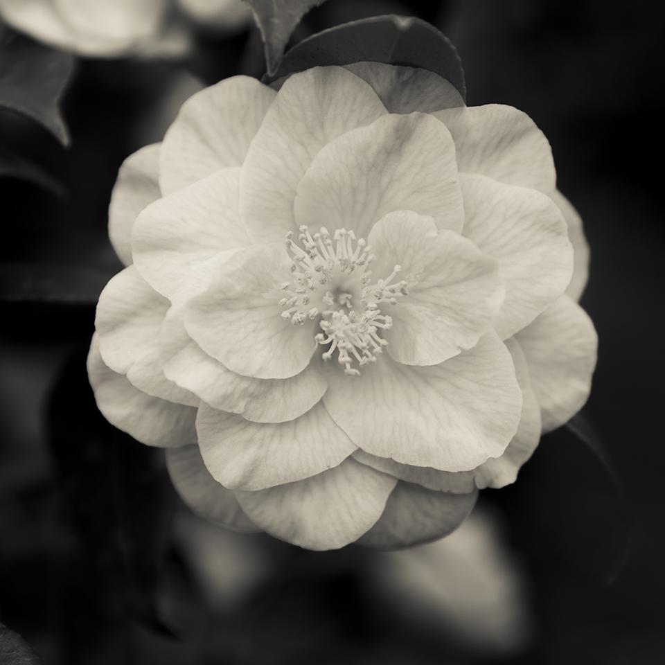 Camellia Bloom.jpg