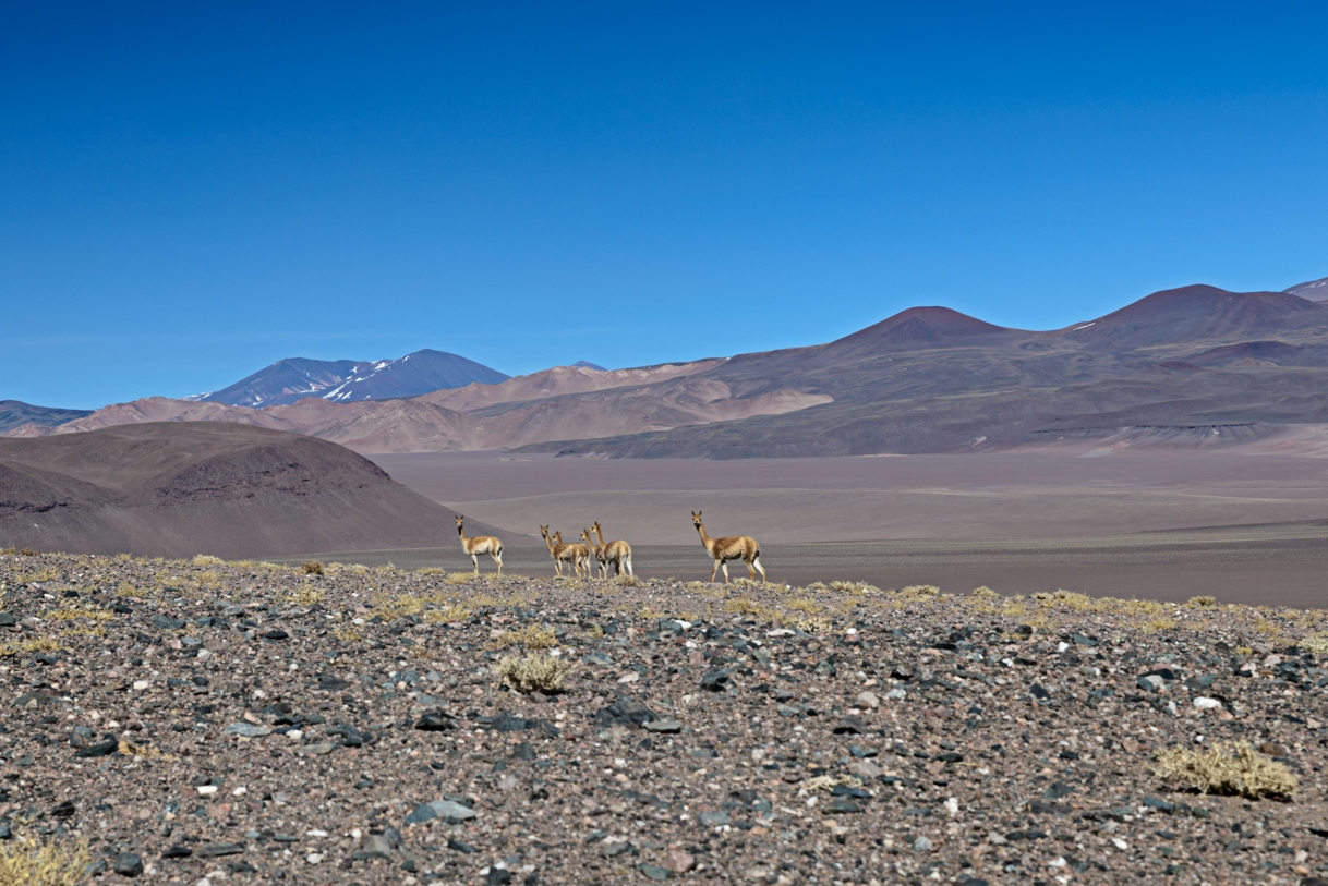 Vicuñas grazing near Antofalla