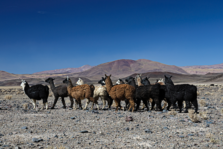 Llamas near Antofagasta de la Sierra
