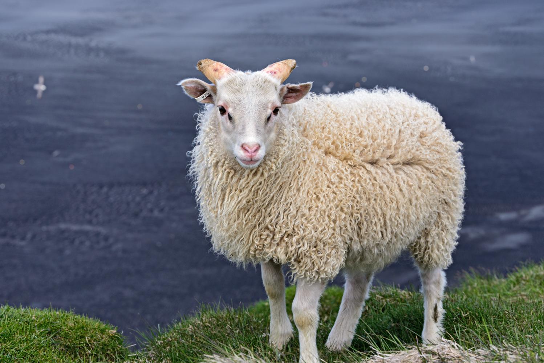 Windswept Lamb