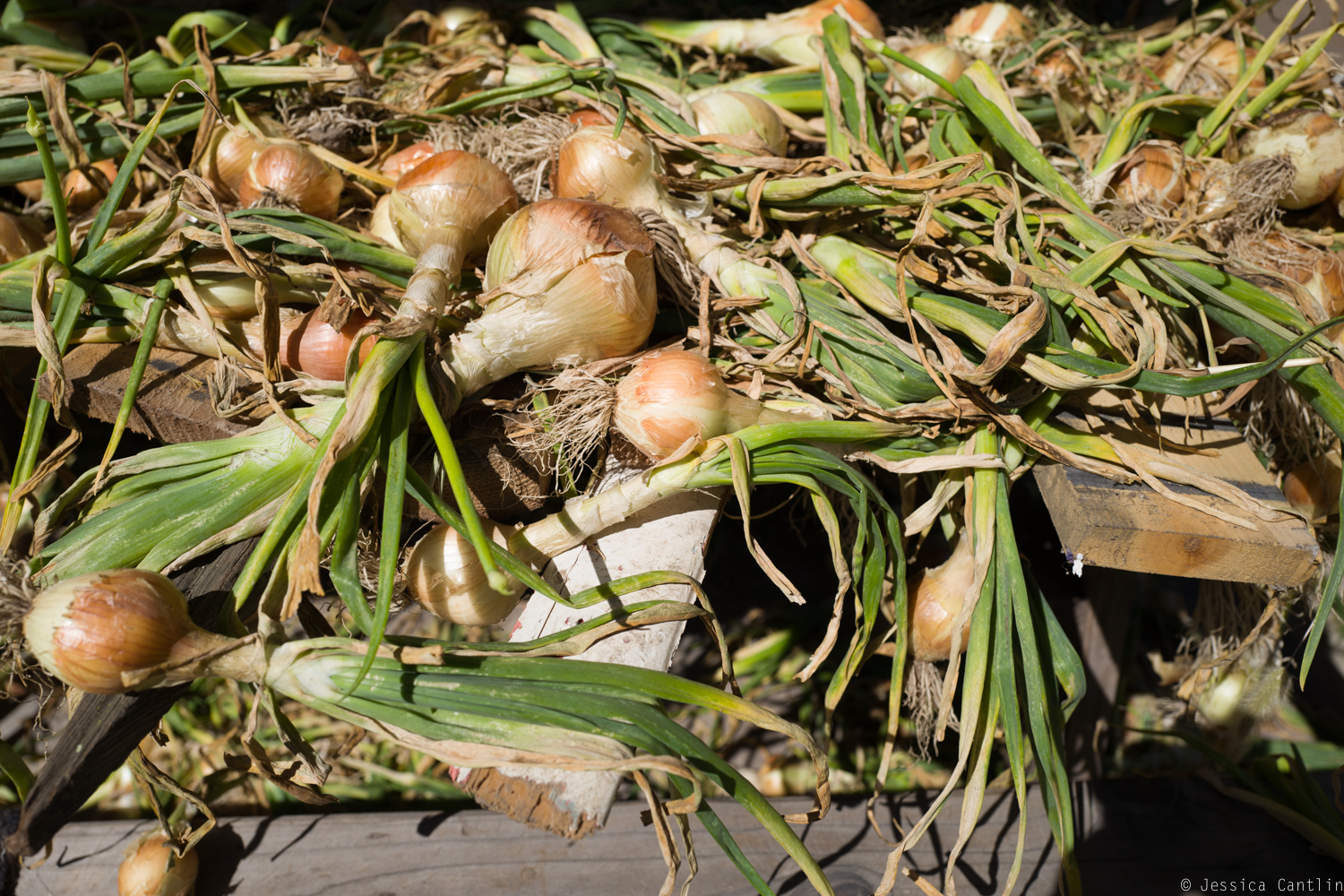 Onions at Gospel Flat Farm Stand