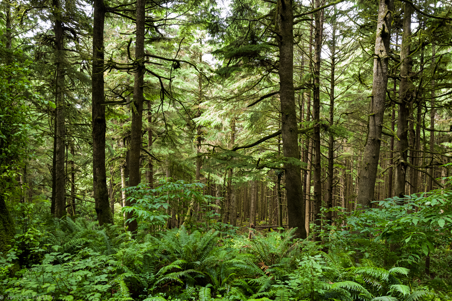 Oregon old growth forest