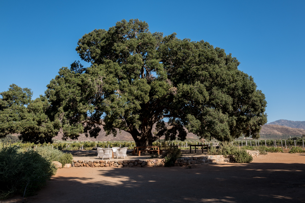 One of the ancient oak trees scattered throughout the property at Bruma.