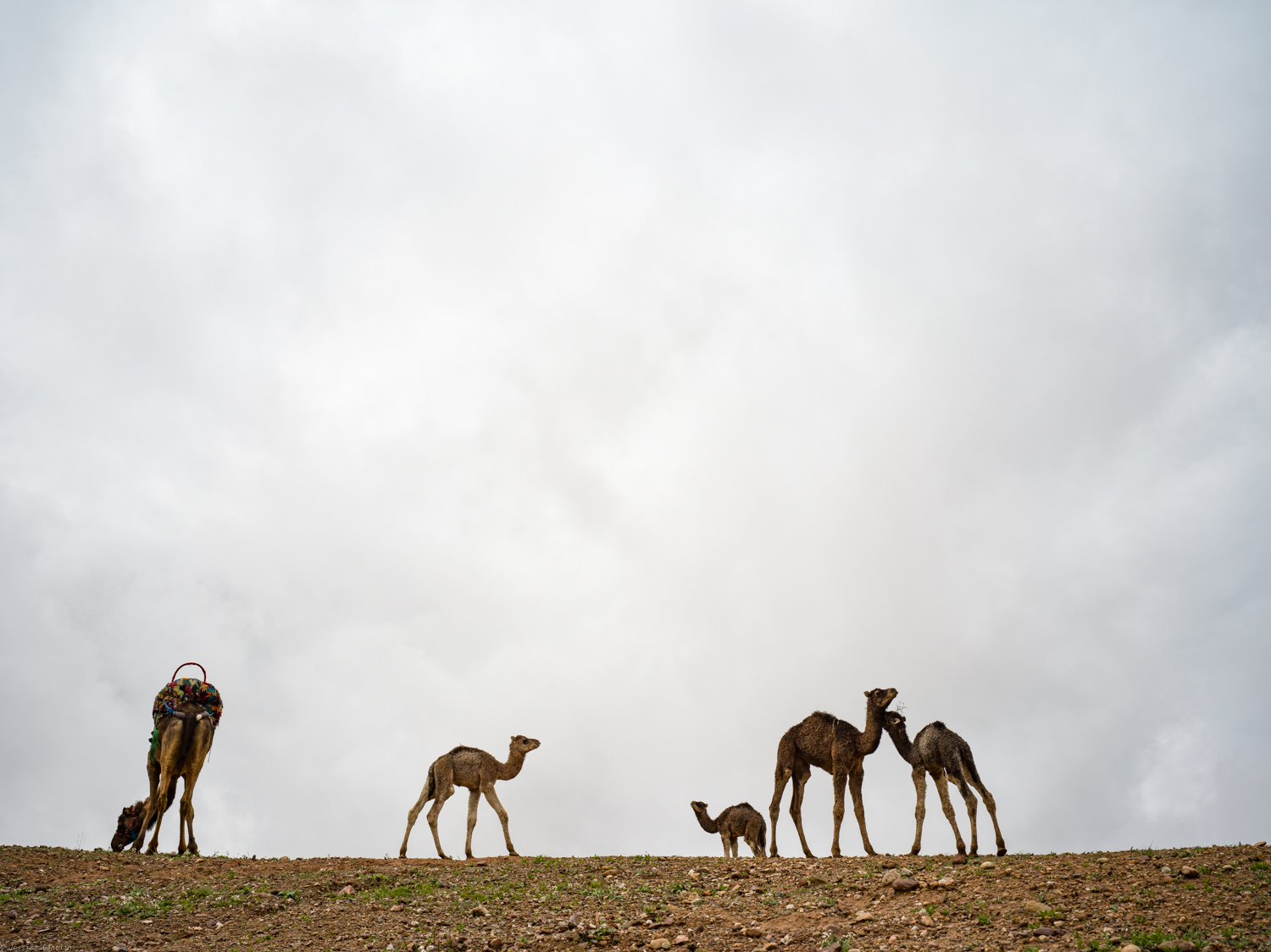 Baby Camels at Scarabeo Camp