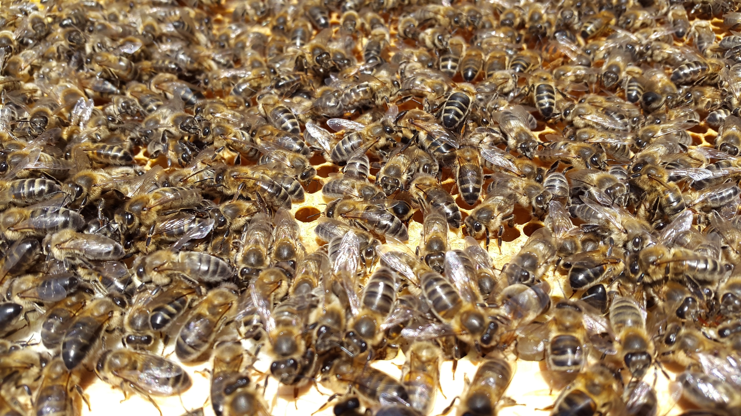Smith bees in July