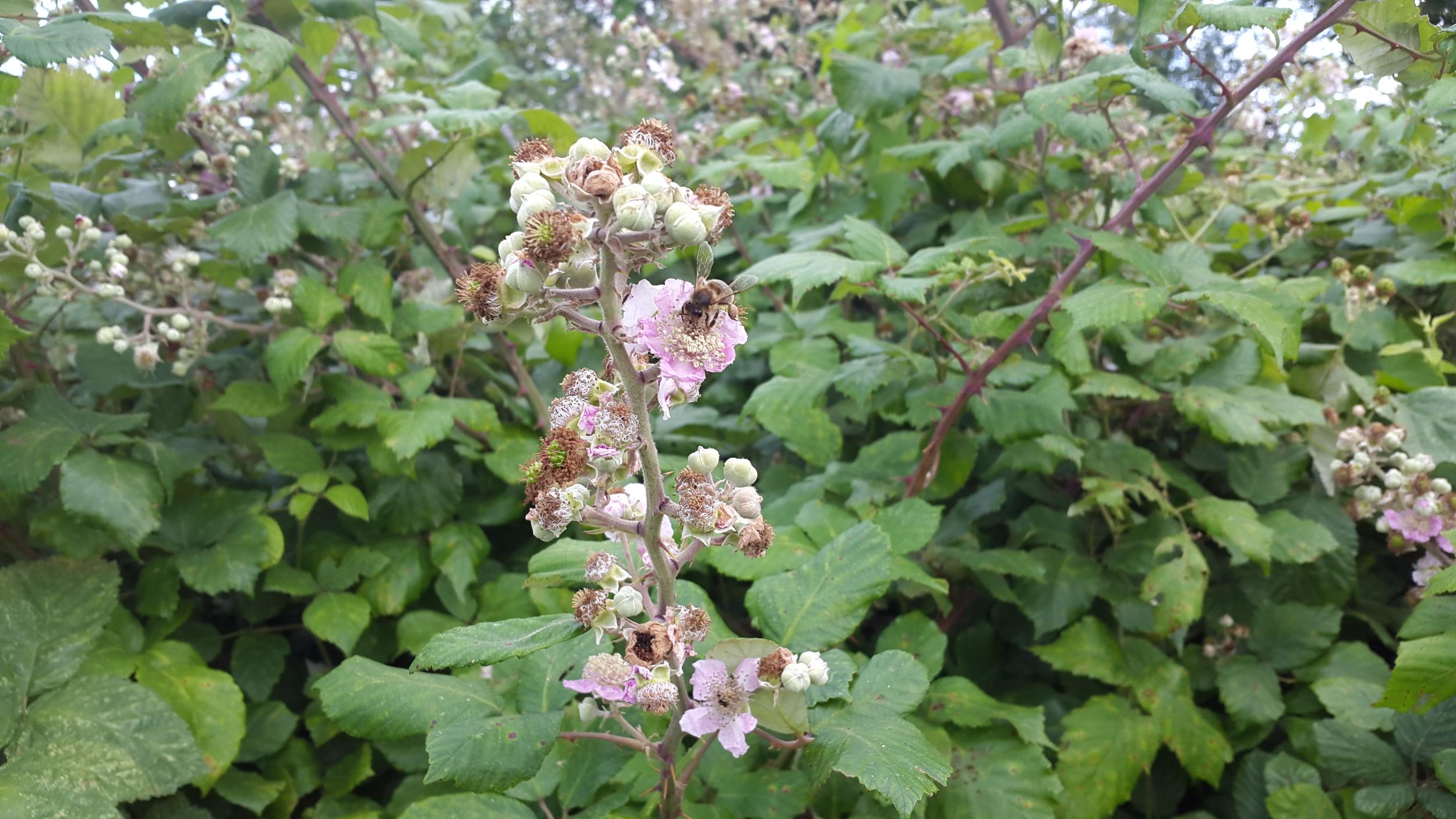 bramblebee.jpg