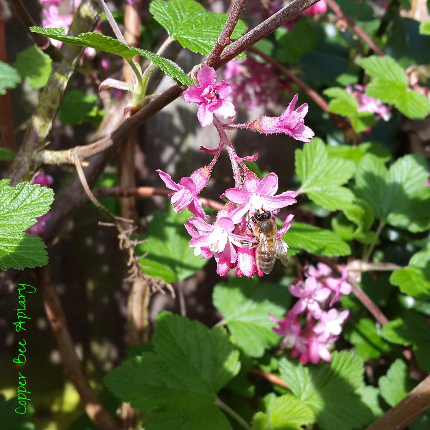 Nectar forager