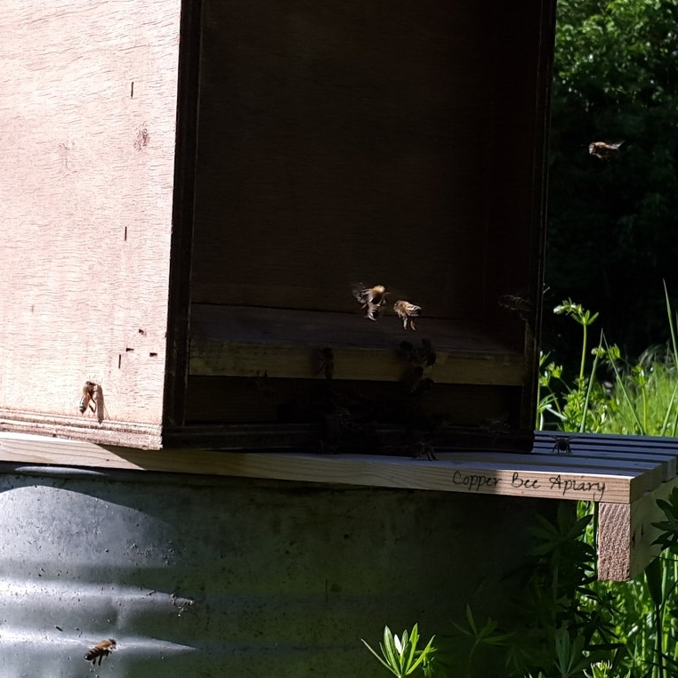 New bees at the bait hive