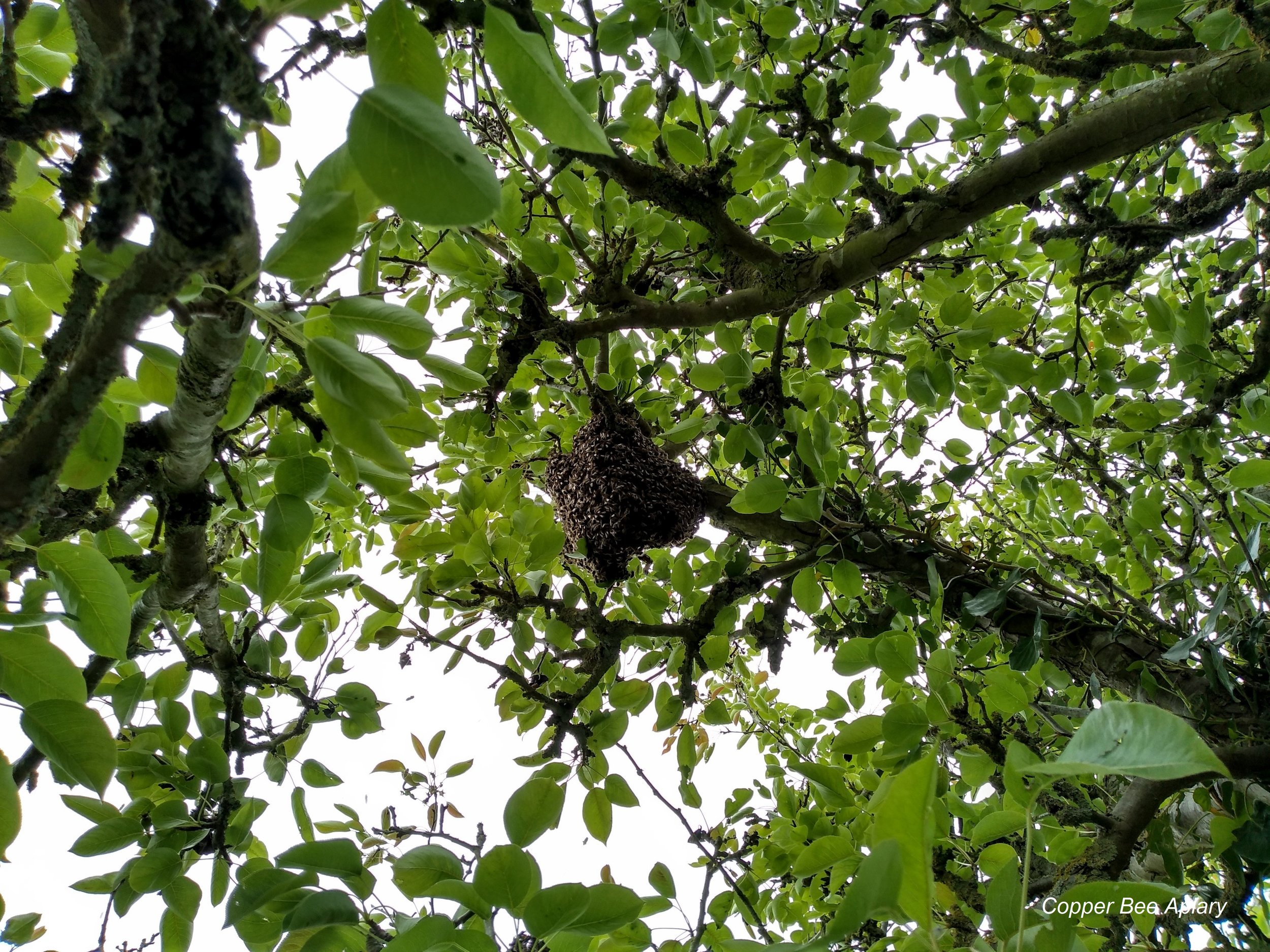 Queen Romaine's Swarm