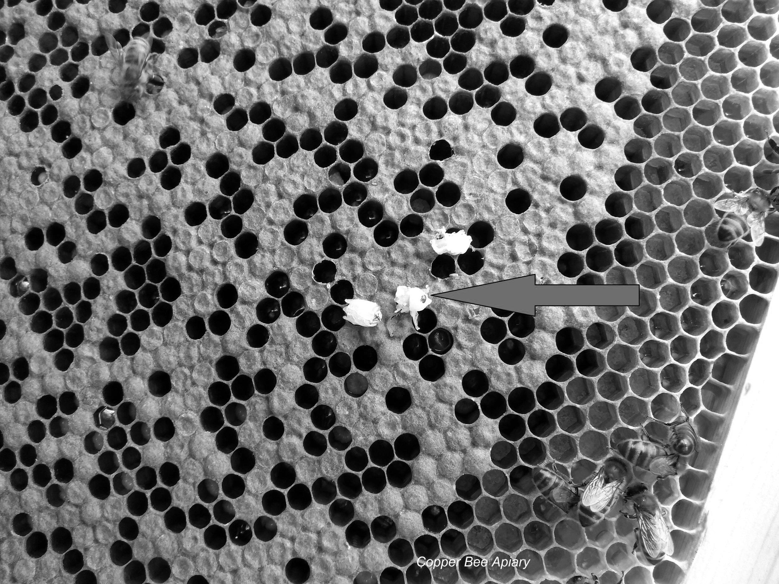 Death by varroa