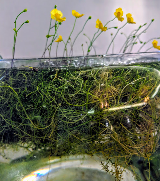 """Utricularia gibba shown here, an aquatic species. The tiny black dots along the grassy stems of the plant floating underwater are the feeder traps, the """"bladder"""" in bladderwort. This particular gibba was submitted by an attendee (whose name I didn't catch from the show card) of the 2018 International Carnivorous Plant Society conference in Sonoma County and won first prize!"""