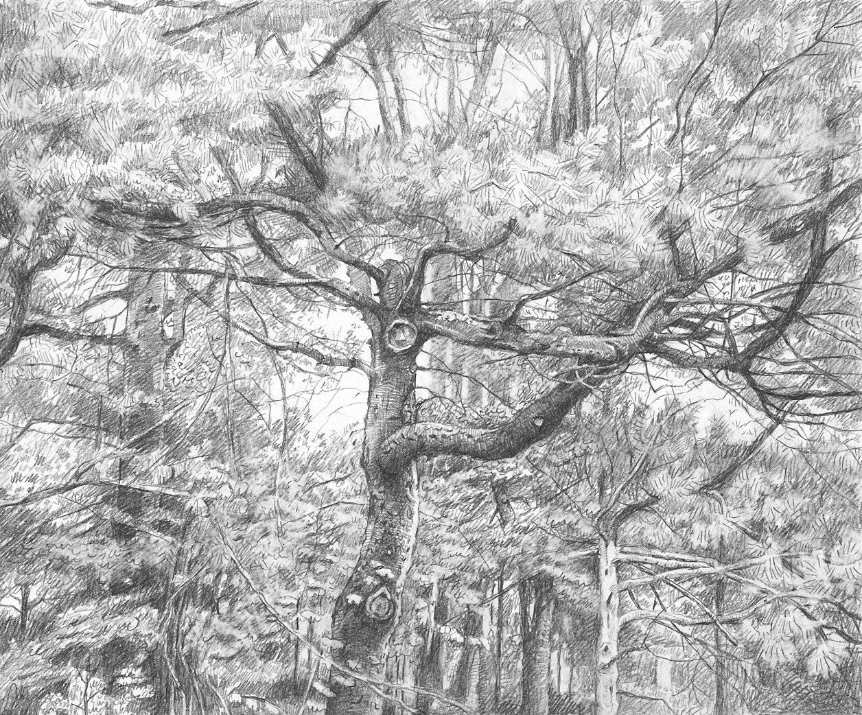 Pruned Pine