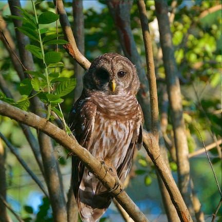 Hilton Head Island Bard Owl.png