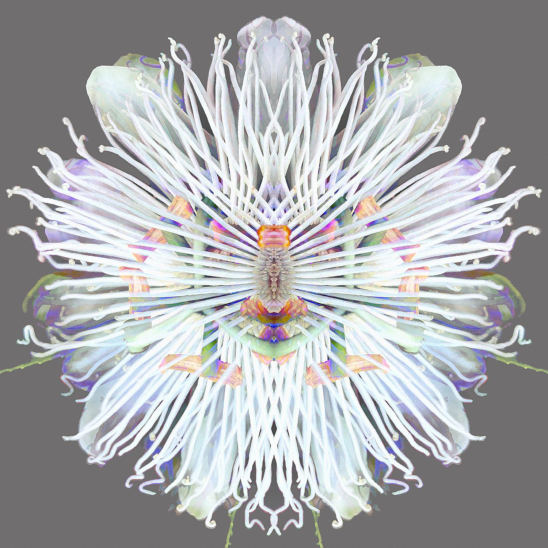 Passiflora   Rainbow 1500.jpg
