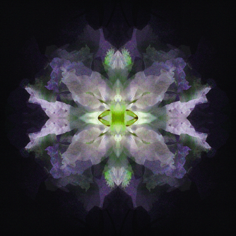 Clematis   Lavender Lime 1500.jpg