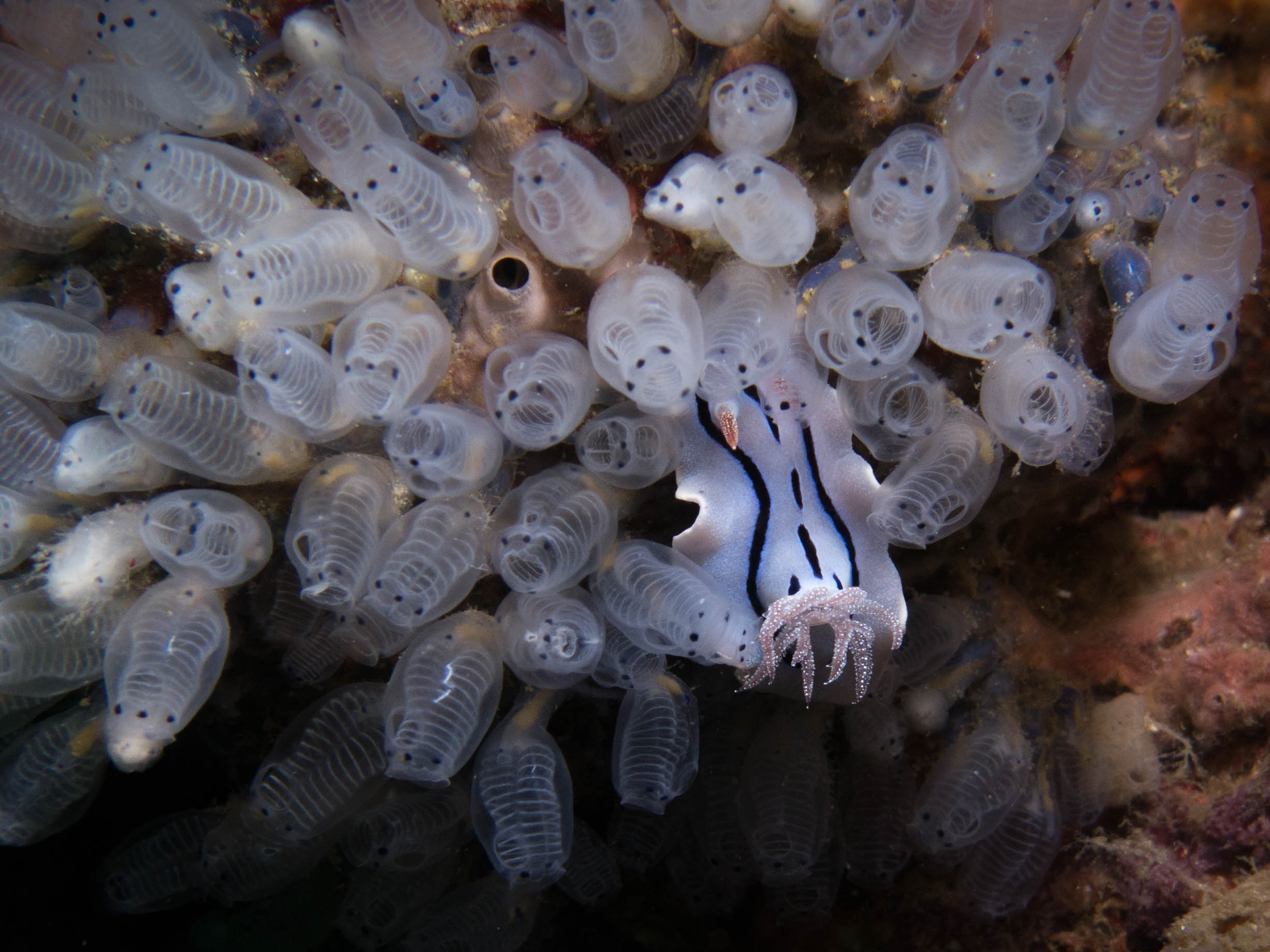 Willan's Chromodoris with Tunicates.jpg