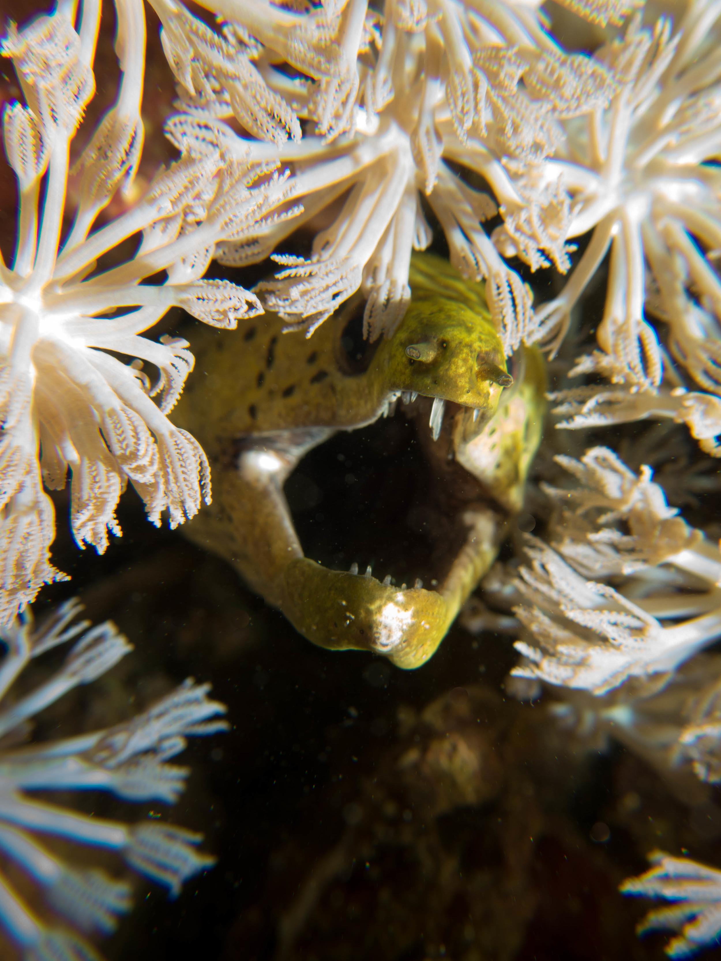 Green Moray open mouth.jpg