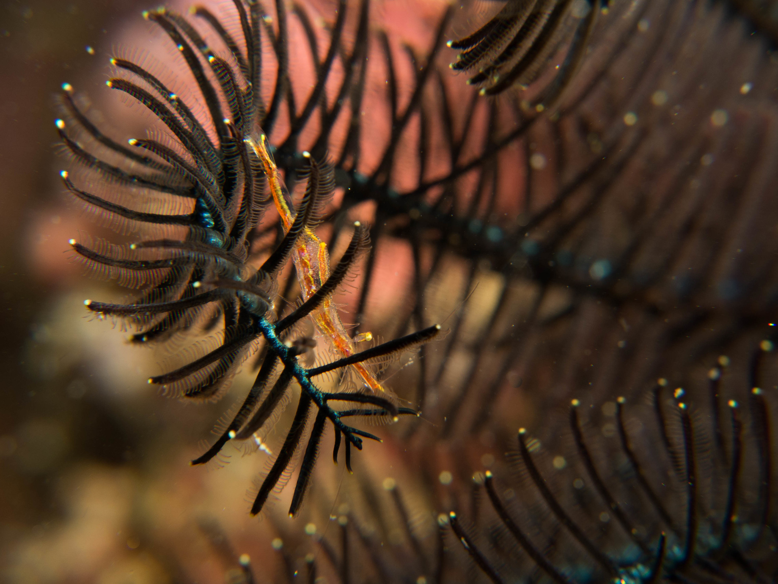 Hydroid Shrimp (?).jpg