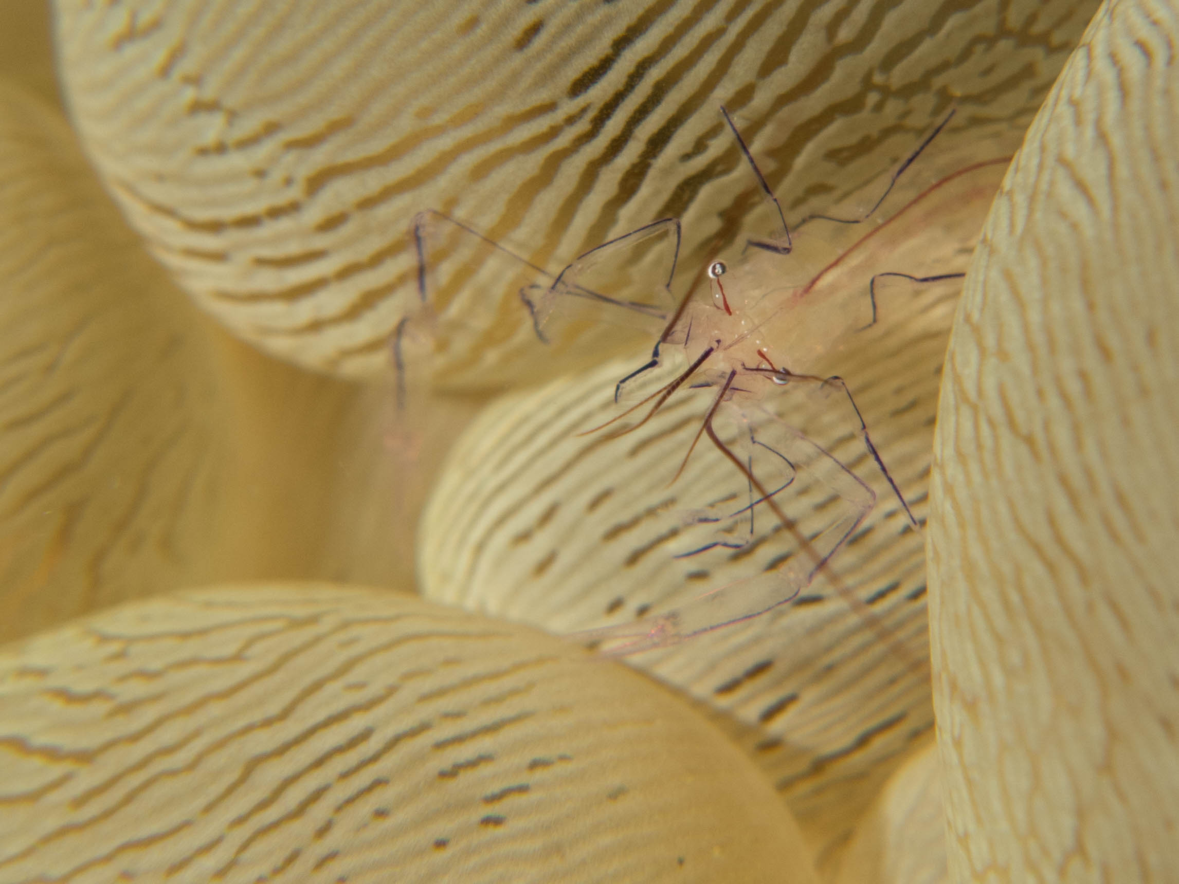 Bubble Coral Shrimp.jpg