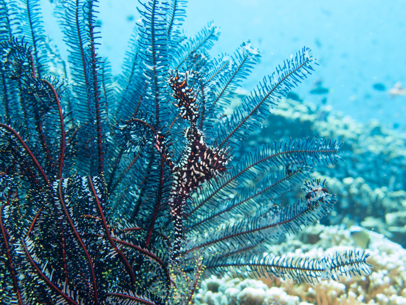 Ornate Ghost Pipefish 2.jpg