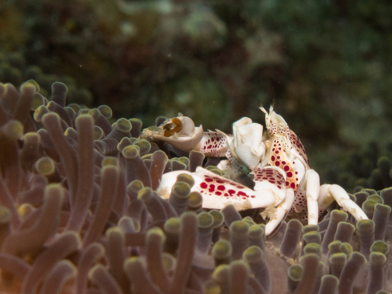 Porcelain Crab 2.jpg