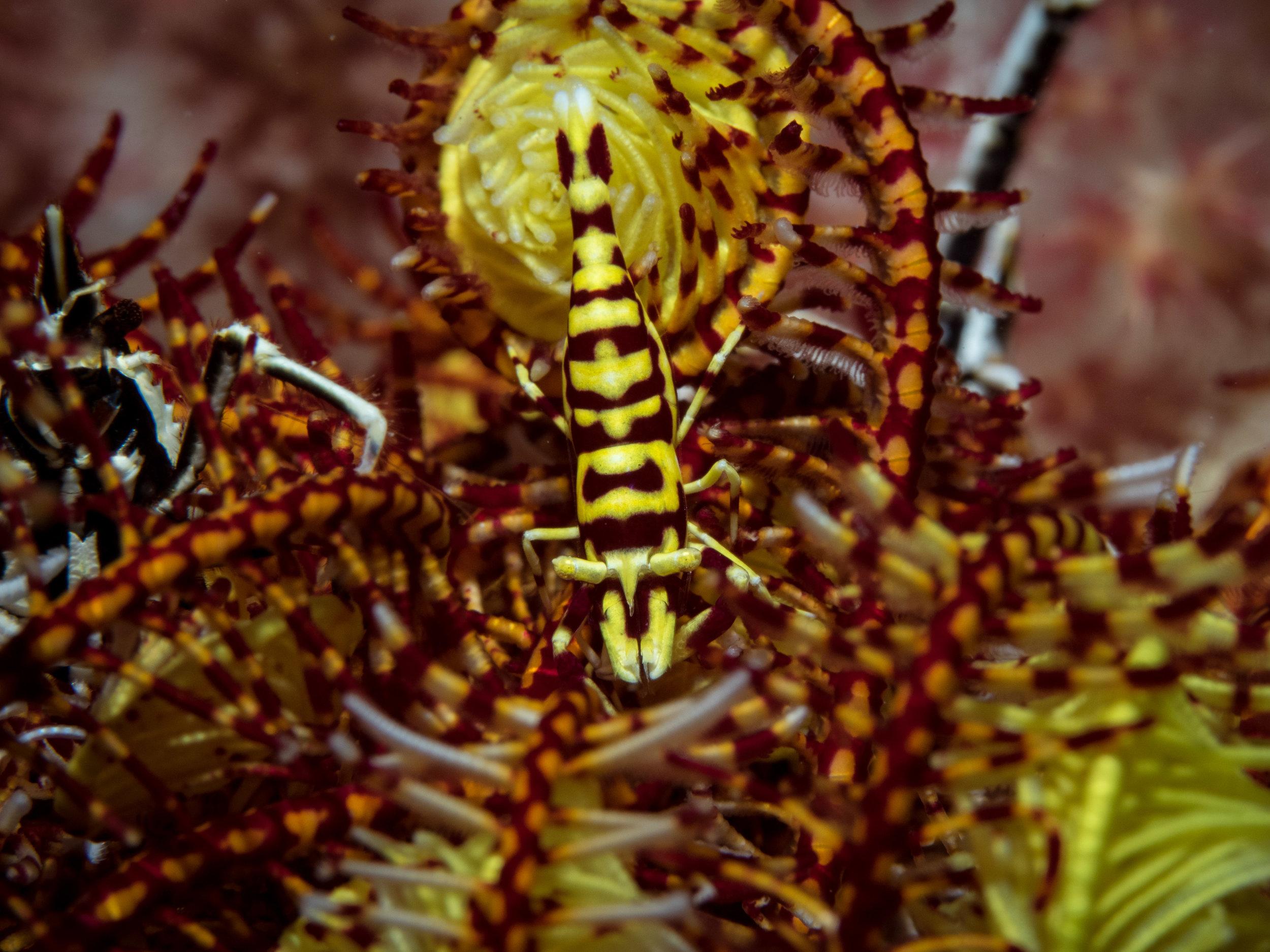 Crinoid shrimp (and squat lobsters).jpg