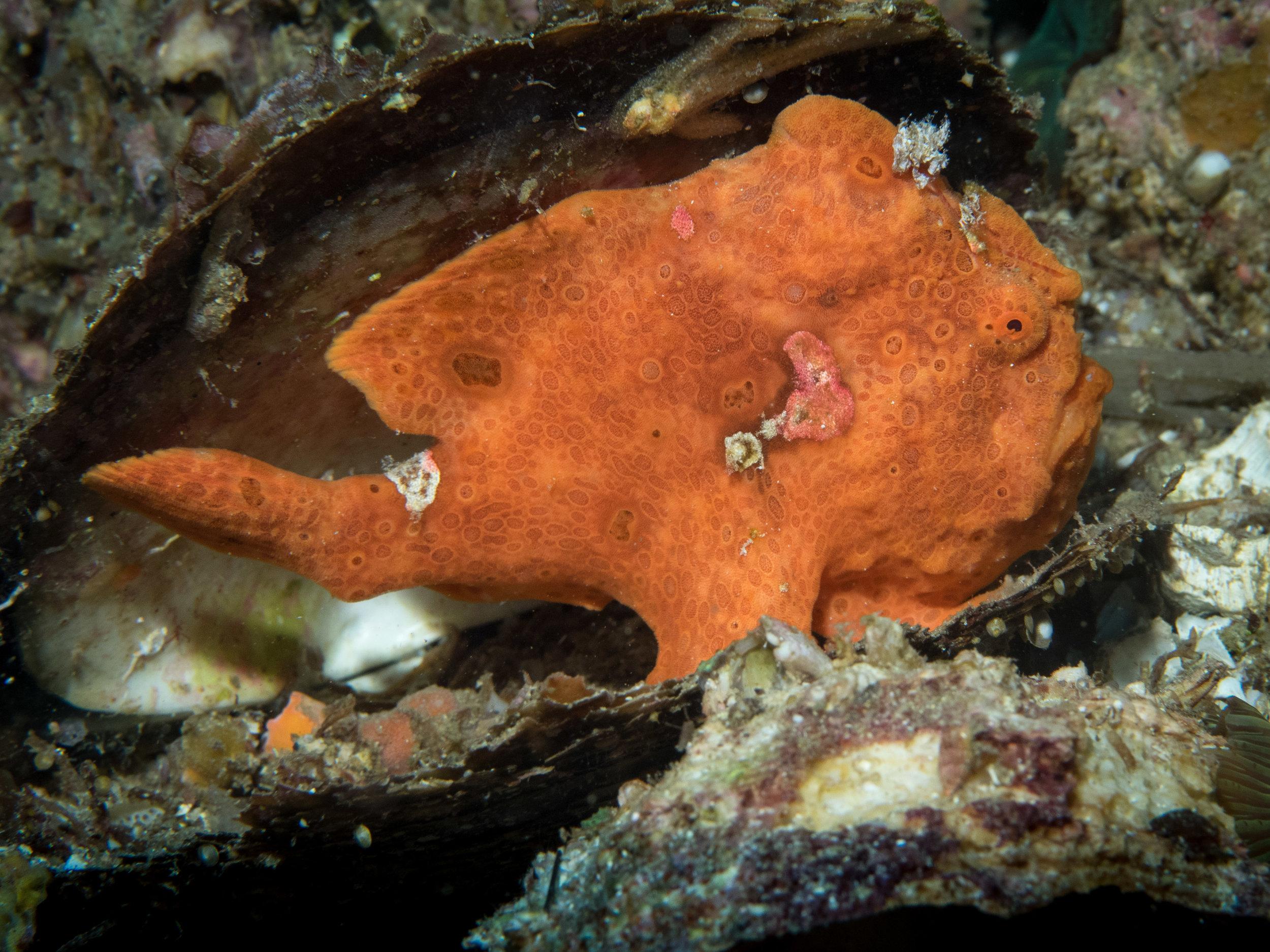 Painted Frogfish - orange phase.jpg