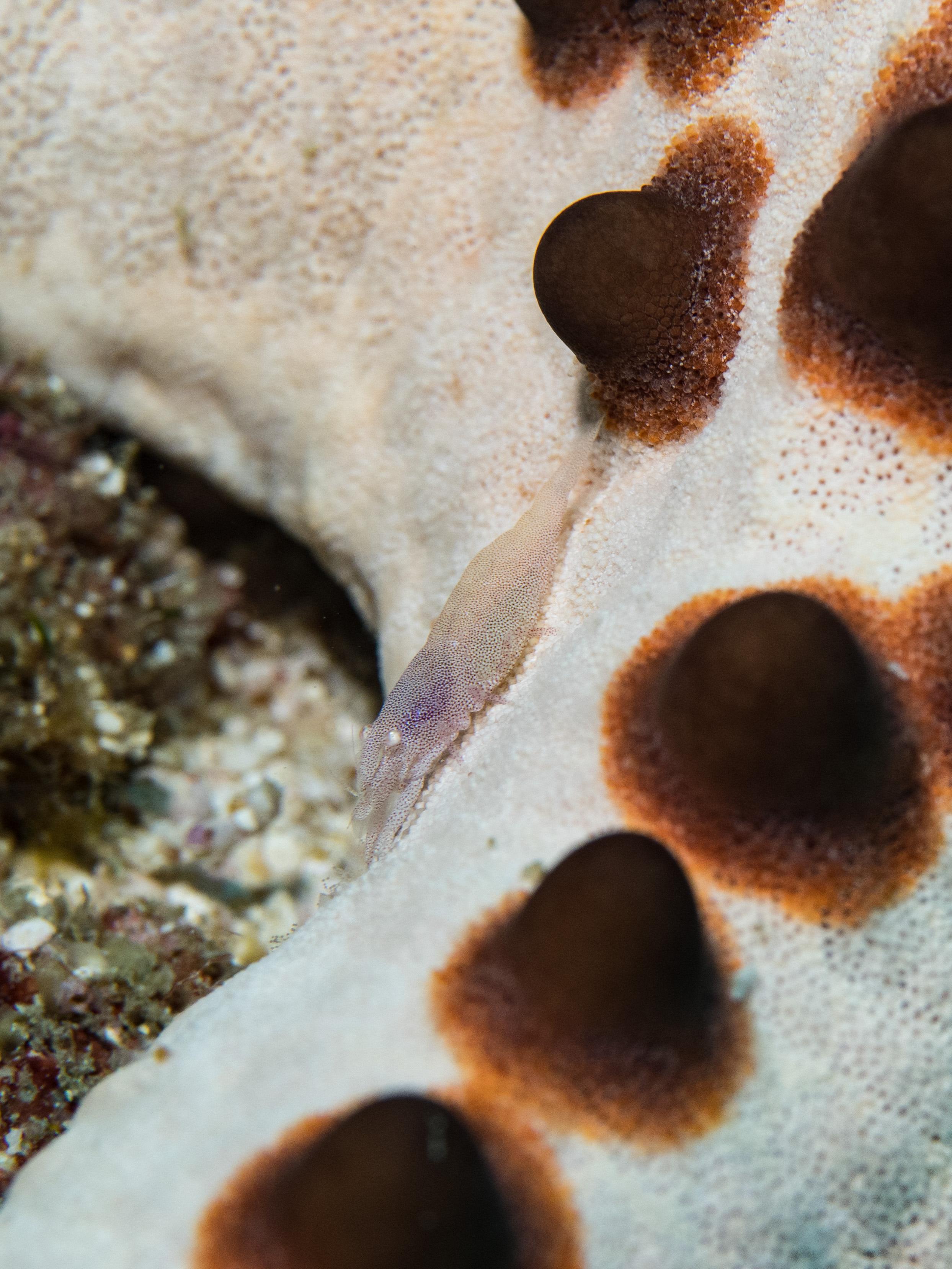 Sea star shrimp 6.jpg