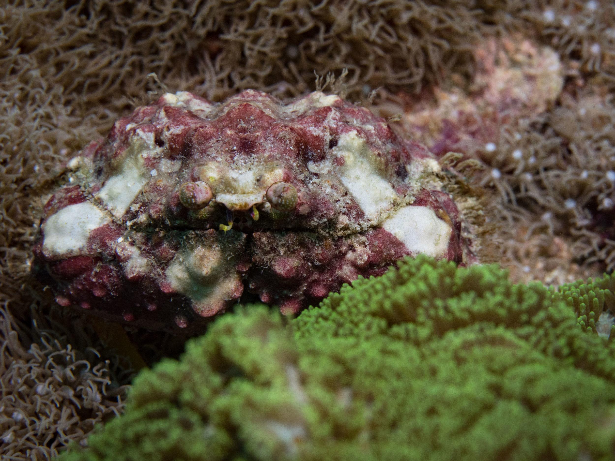 Shame faced box crab.jpg
